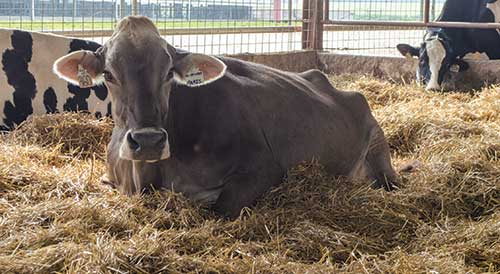 Brown Swiss Cow Paris