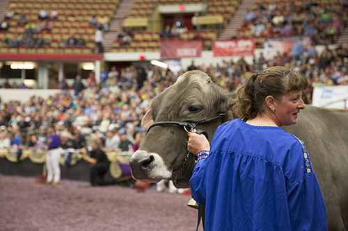 Old Mill E Snickerdoodle at the 2013 International Brown Swiss Show