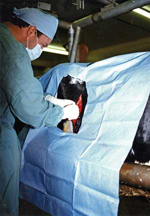 vet performing surgery for a displaced abomasum
