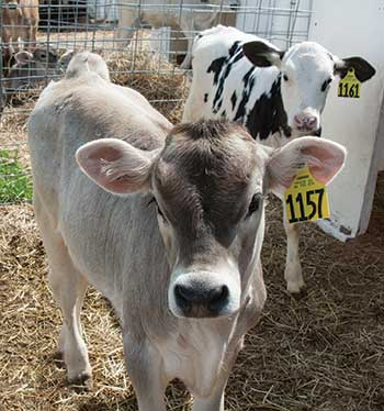 Brown Swiss and Holstein calves