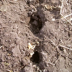 tillage radish holes