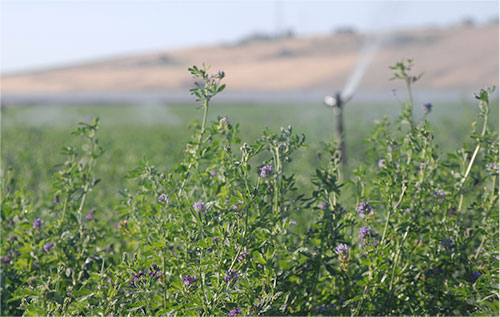 irrigated alfalfa