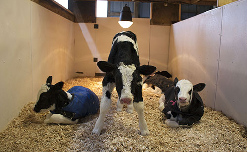 calves in heating box