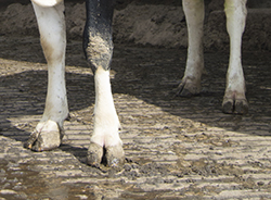 cow hooves