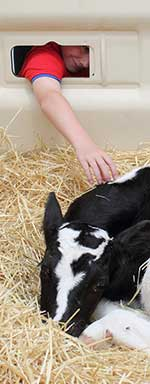 youth petting calf